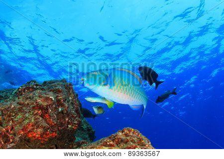 Parrotfish (Wrasse)