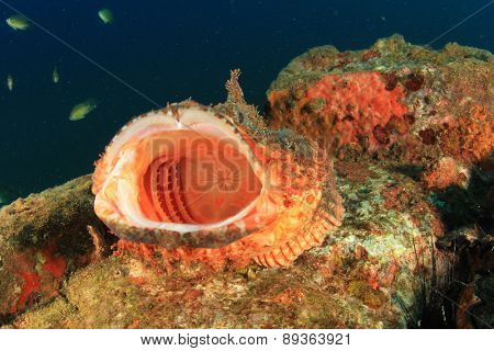 Scorpionfish with mouth wide open