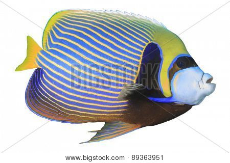 Tropical fish isolated on white background: Emperor Angelfish