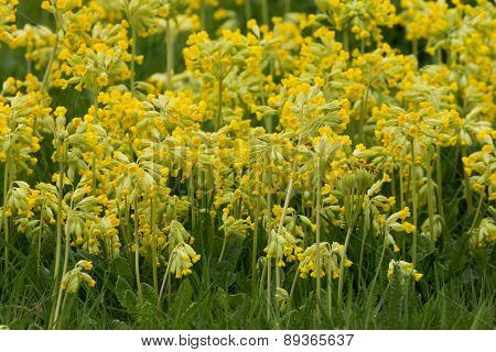 Field of Cowslips