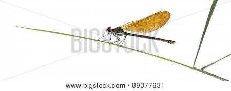 Female beautiful demoiselle - Calopteryx virgo, on grass blade in front of a white background