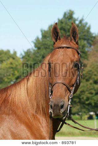 American Saddlebred Portrait