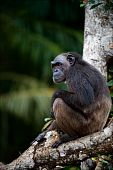 The chimpanzee alone sits on a tree in green jungle. poster