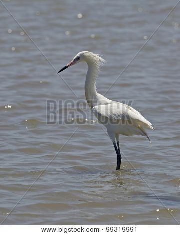 White Morph Of Reddish Egret