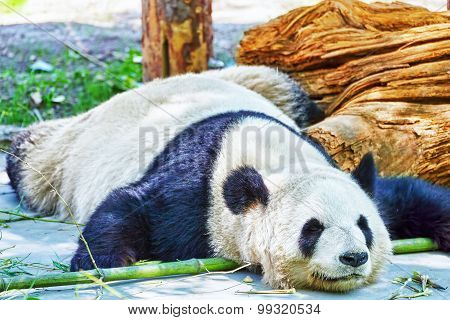 Sleeping Panda In Its Natural Habitat.