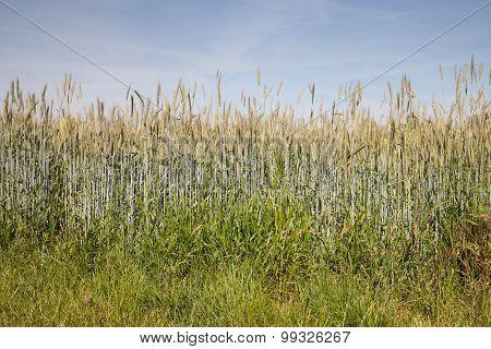 Germany, North Rhine-westphalia, Grain Field, Rye Field