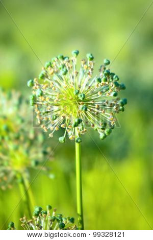 Flower Of Onion  On Bright Green Background