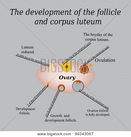 It shows the development of ovarian follicle and corpus luteum. Vector illustration on a gray backgr