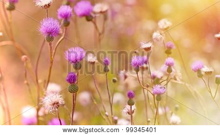 Thistle flowering - blooming