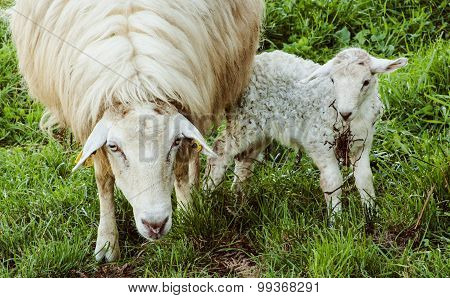 Sheep and her baby
