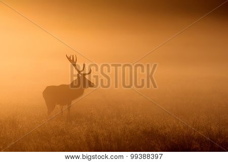 A red deer stag standing in the golden morning mist poster
