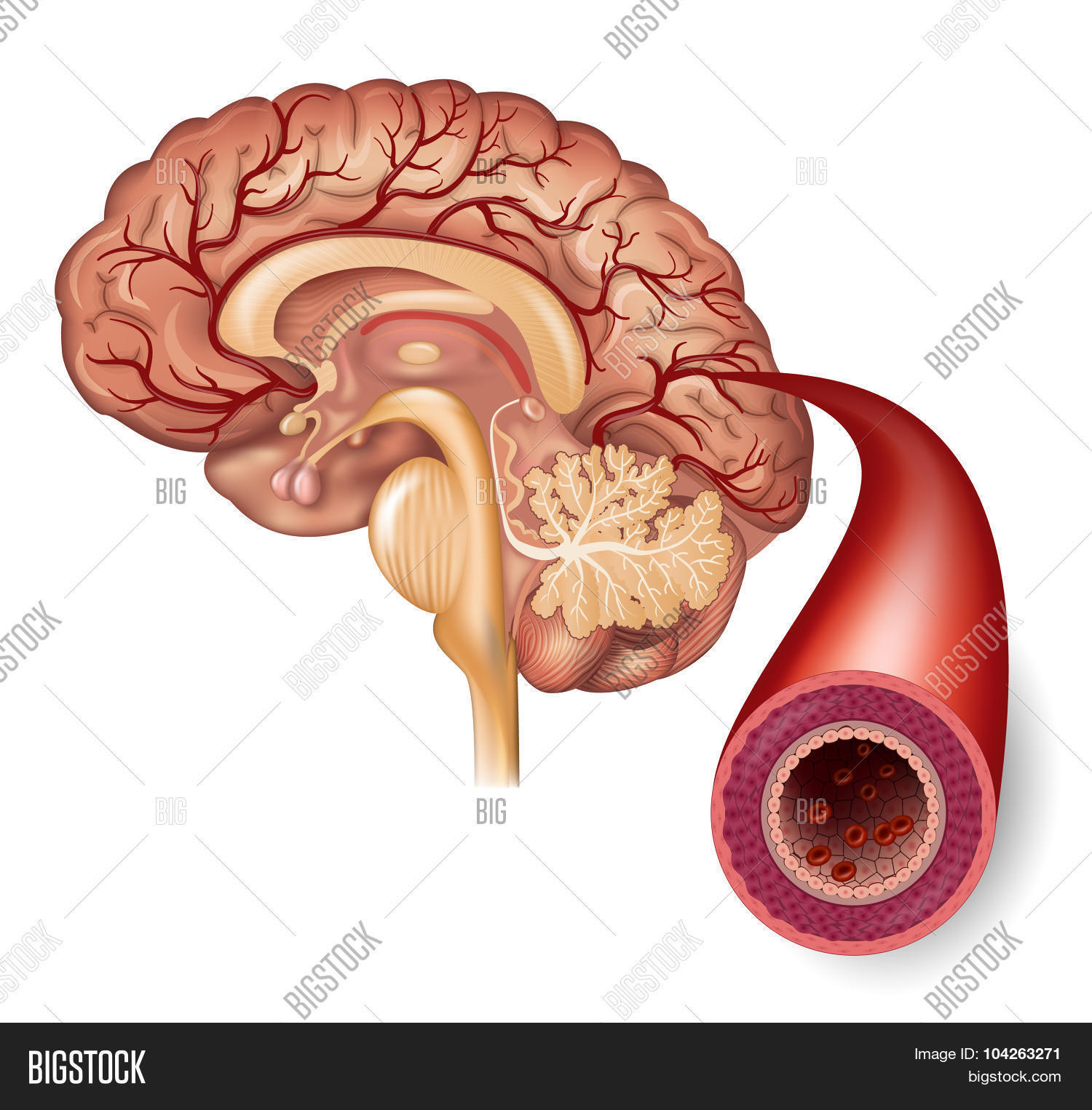 Normal Brain Artery Vector & Photo (Free Trial) | Bigstock