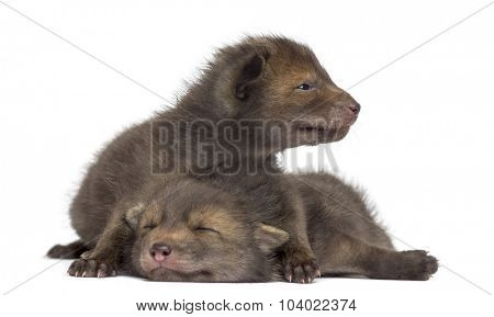Fox cubs (4 weeks old) lying in front of a white background