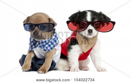 Dressed-up Chihuahua puppies sitting and wearing glasses, 3 months old, isolated on white