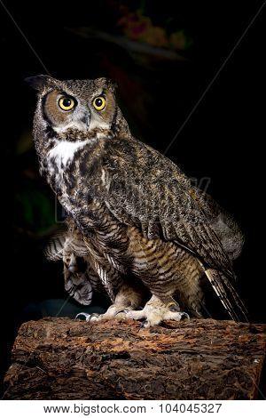 Studio Shot Of Horned Owl.