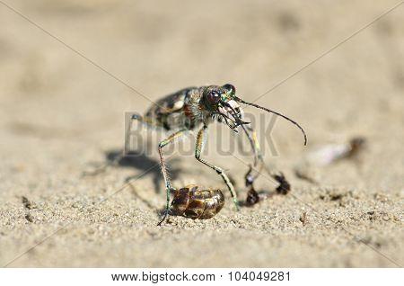 Tiger beetle (Cicindela).