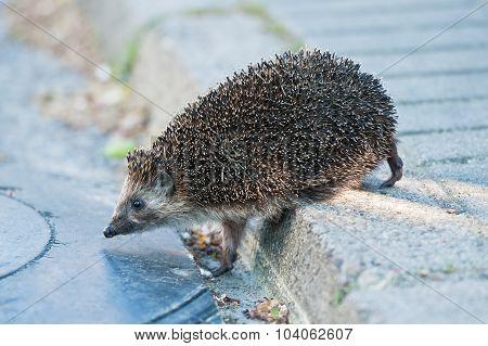 Hedgehog Walking Through The Street.