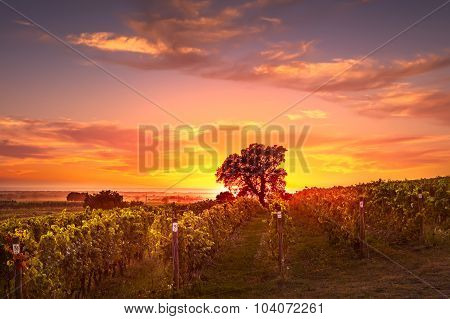 Bolgheri And Castagneto Vineyard And Tree On Sunset In Backlight . Maremma Tuscany, Italy