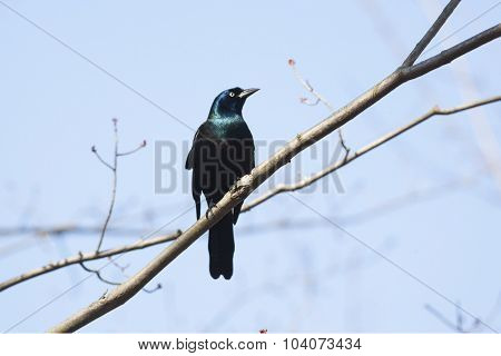 Male Common Grackle (Quiscalus quiscula) perching on a tree - Ontario, Canada