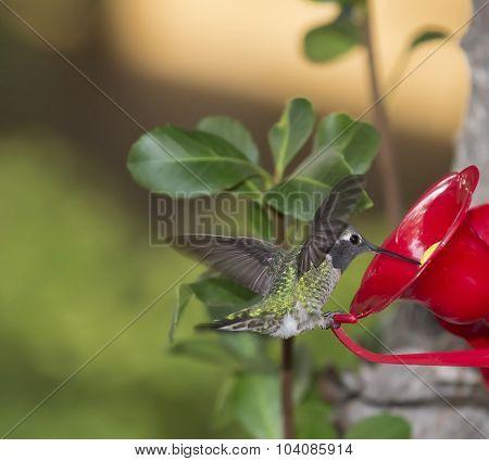 Ruby Throated Hummingbird ((archilochus Colubris)) Female Eating