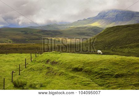 Single sheep grazing in the Highlands of Scotland