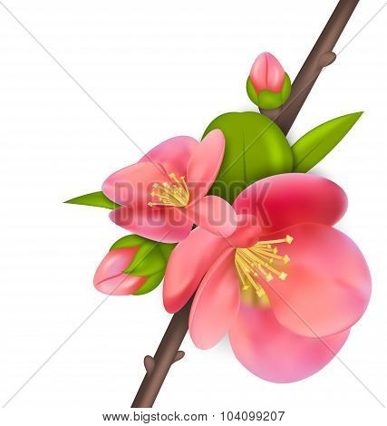 Branch with buds of Japanese Quince Chaenomeles