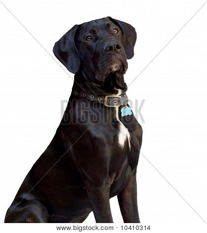 Great Dane 6-month old puppy