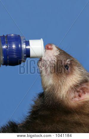 Ferret On The Bottle