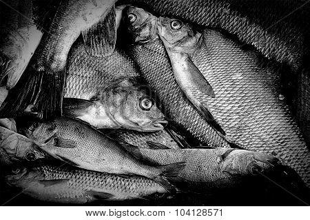 Fresh caught freshwater fish