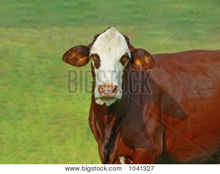 Cow Expressions