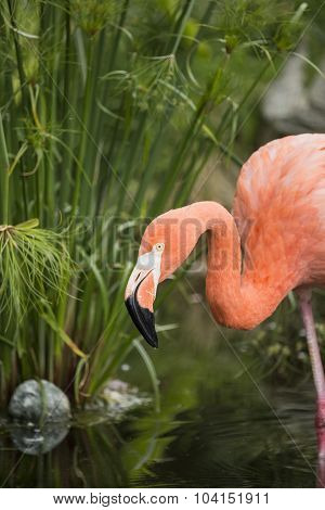 An Amercian Flamingo at the local zoo.