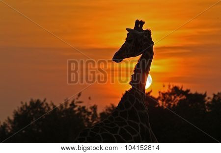 Rothschild Giraffe (giraffa Camelopardalis Rotschildi)