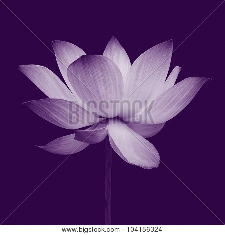 Abstract Of Lotus