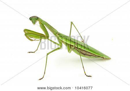 Praying Mantis. on white background
