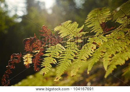 Autumn fern macro