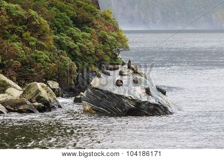 Flock Of Wild Seal Lying On Rock Coastal In Milford Sound Fiord Land National Park South Island New