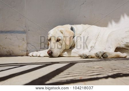 white dog lies