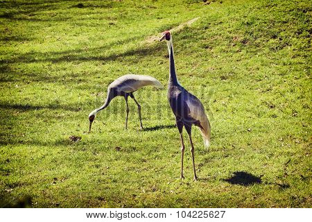 Pair Of White-naped Cranes (grus Vipio)