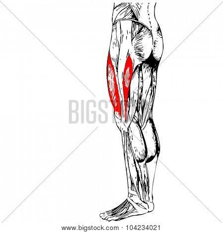 Concept or conceptual 3D gastrocnemius human upper leg anatomy or anatomical and muscle isolated on white background poster