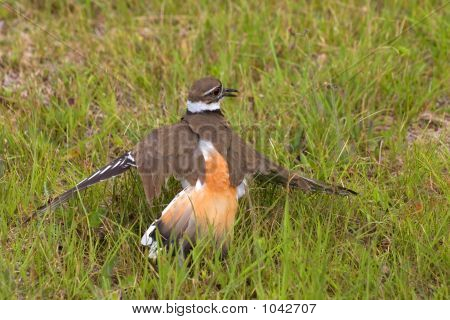 a mother killdeer bird protecting her eggs poster