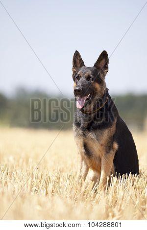 German shepard dog sit in field