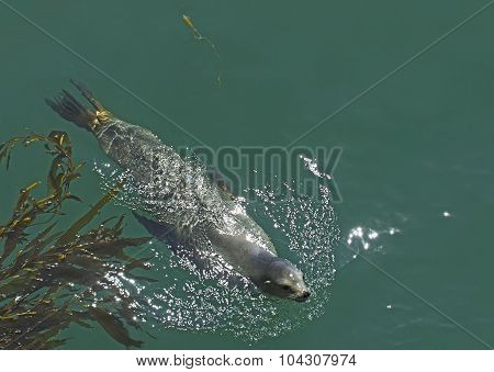 Sea Lion Swimming In Pacific Ocean.