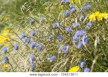Jasione montana, also known as Blue bonnet, in the Pyrenees poster