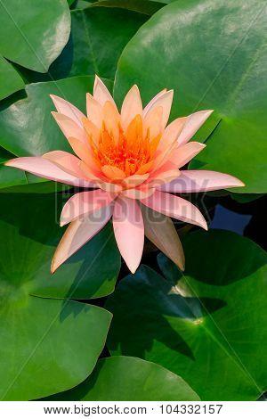 Orange Pink Lily