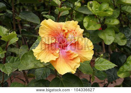 A Beautiful Orange/yellow/pink Hibiscus
