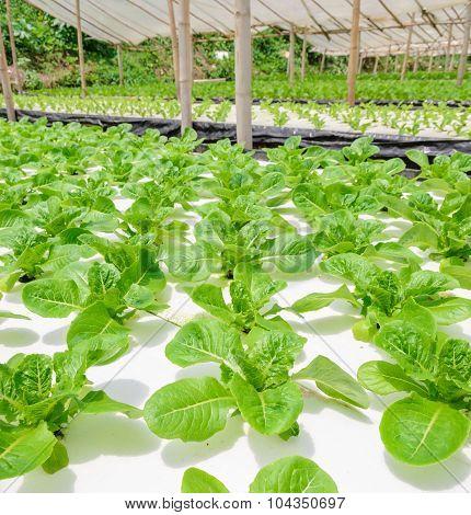 Hydroponic Romaine Lettuce Plantation