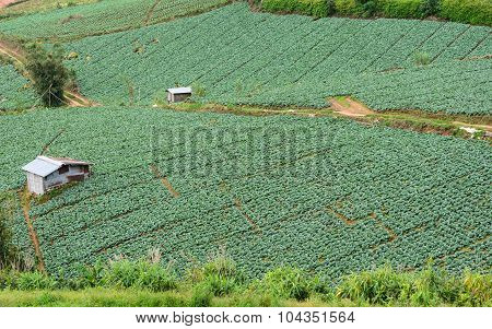 Cabbage Field On The Mountain