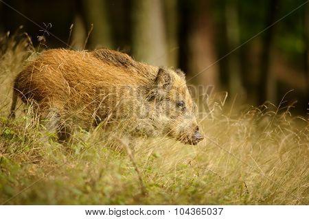 Wild Boar In Long Yellow Grass