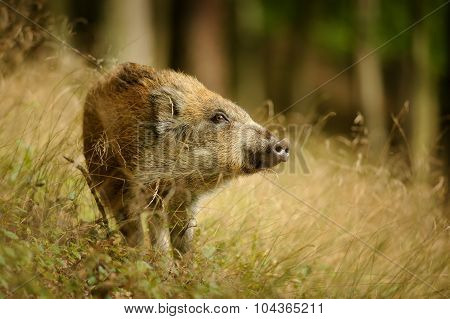 Baby Wild Boar In Long Yellow Grass Sniffing Side