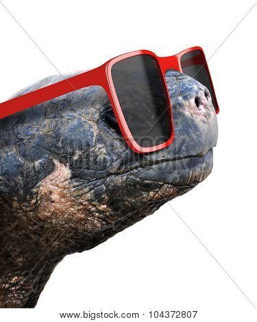 Funny animal portrait of an old galapagos tortoise with big red nerdy sunglasses